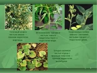 * Точечный хлороз листьев вишни— признак недостатка марганца. Исчезновение т