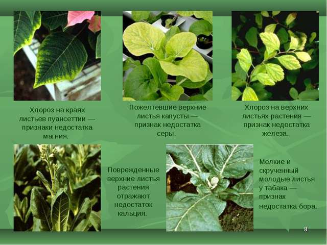 * Хлороз на краях листьев пуансеттии— признаки недостатка магния. Поврежденн...