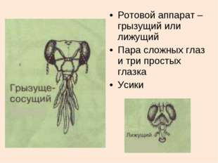 Ротовой аппарат –грызущий или лижущий Пара сложных глаз и три простых глазка