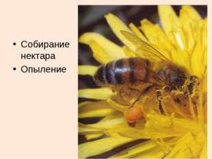 Собирание нектара Опыление