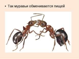 Так муравьи обмениваются пищей