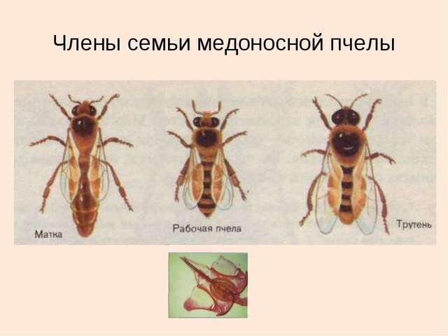 Члены семьи медоносной пчелы