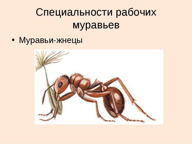Специальности рабочих муравьев Муравьи-жнецы