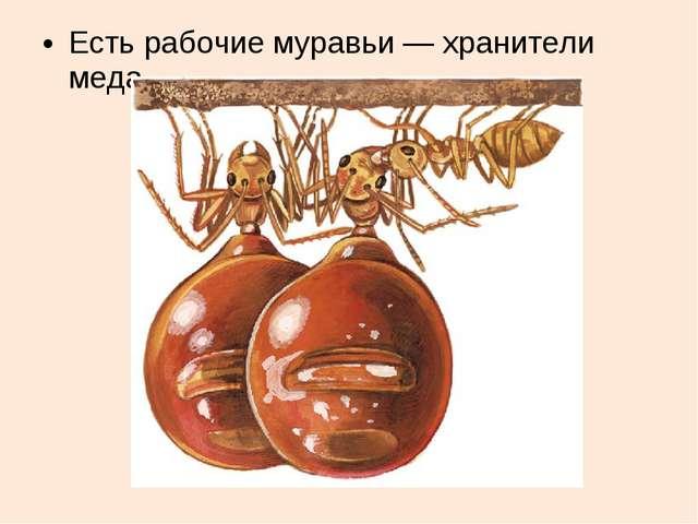 Есть рабочие муравьи — хранители меда.