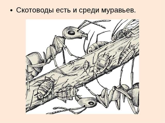 Скотоводы есть и среди муравьев.