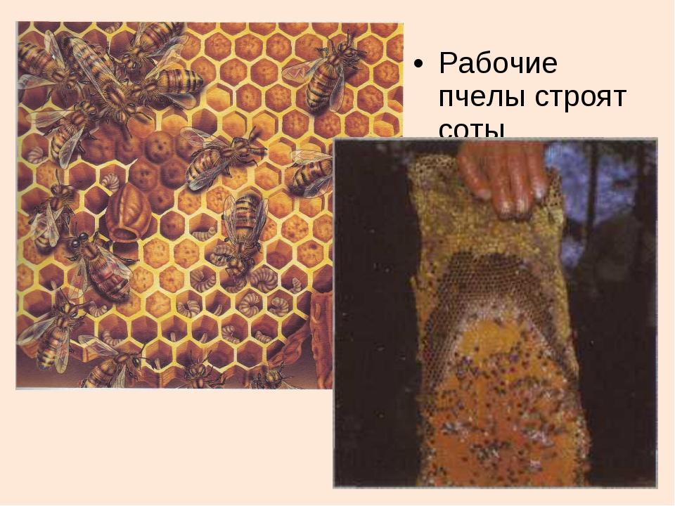 Рабочие пчелы строят соты