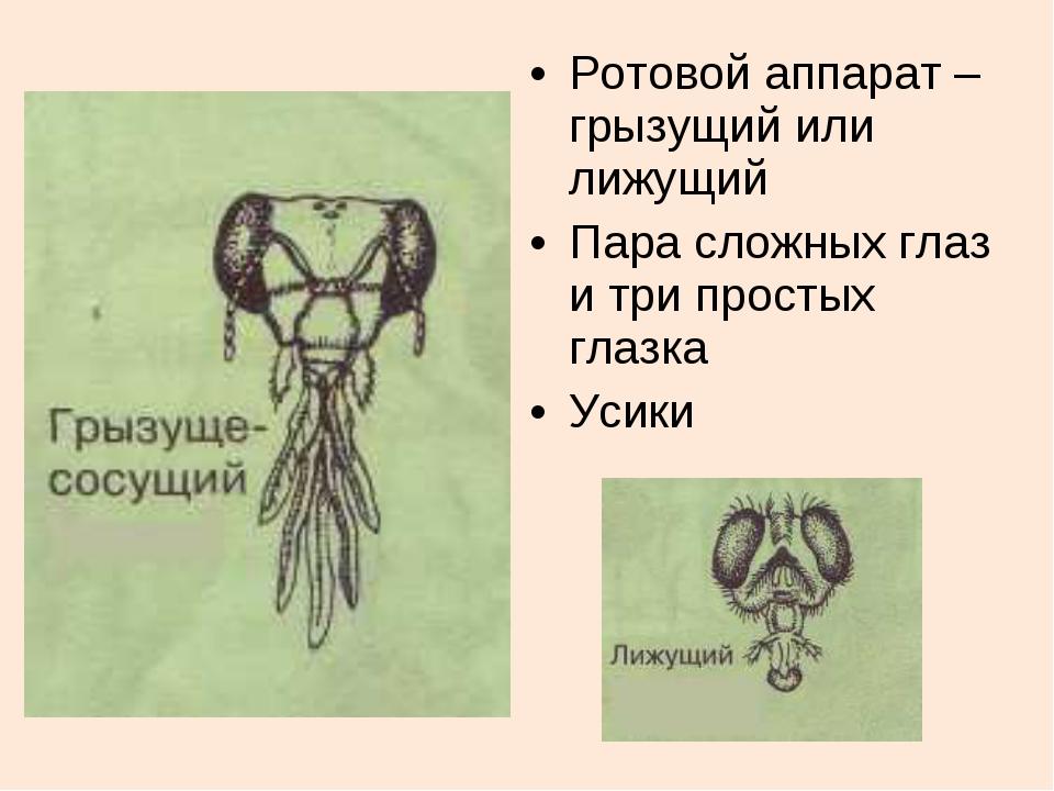 Ротовой аппарат –грызущий или лижущий Пара сложных глаз и три простых глазка...