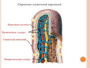 Строение кишечной ворсинки Слизистый эпителий Кишечные железы Кровеносные сос