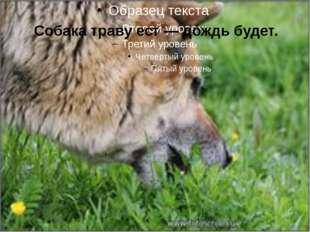 Собака траву ест — дождь будет.