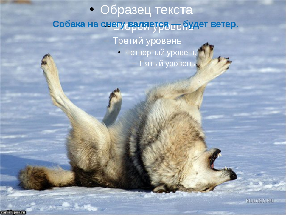 Собака на снегу валяется — будет ветер.
