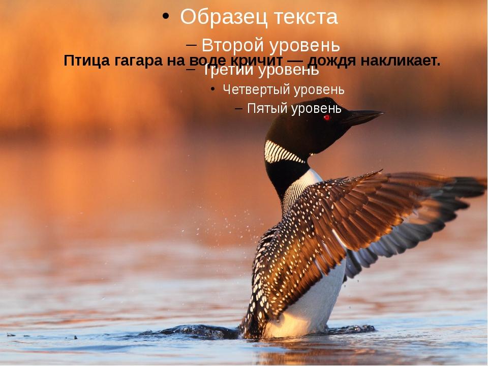 Птица гагара на воде кричит — дождя накликает.