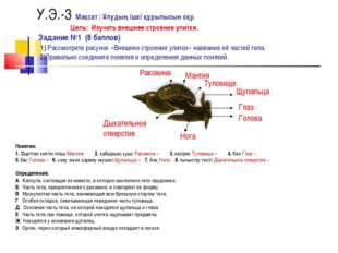 У.Э.-3 Мақсат : Ұлудың ішкі құрылысын оқу. Цель: Изучить внешнее строение ули