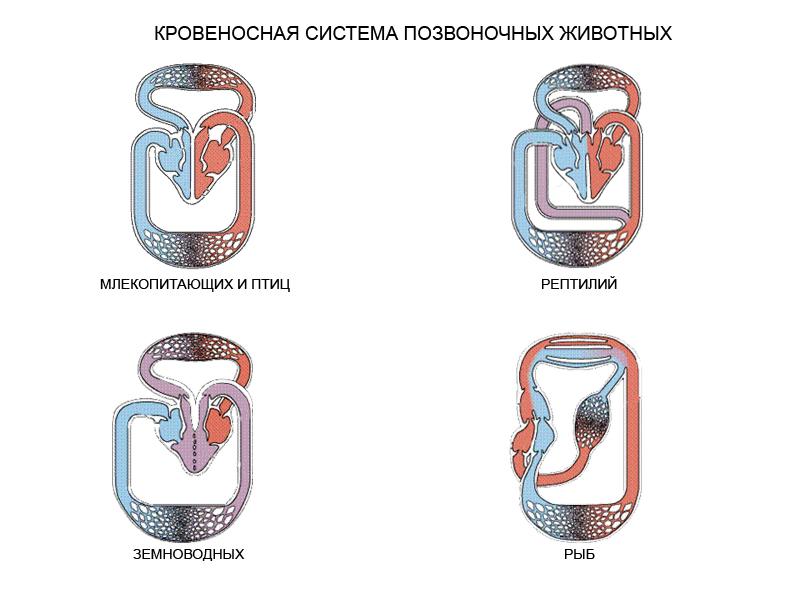 E:\Курсы биология\Жизнедеятельность организмов\Транспорт веществ в организме\260.jpg