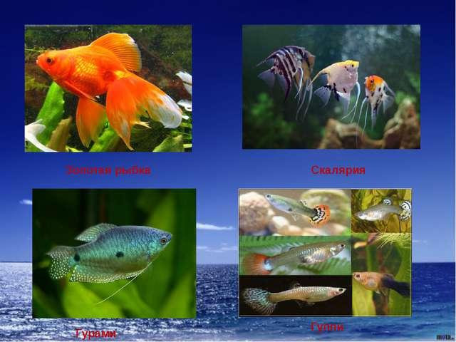 Золотая рыбка Скалярия Гурами Гуппи