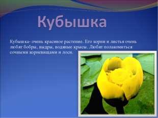 Кубышка- очень красивое растение. Его корни и листья очень любят бобры, выдры