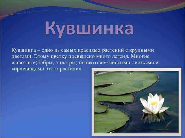 Кувшинка – одно из самых красивых растений с крупными цветами. Этому цветку п...