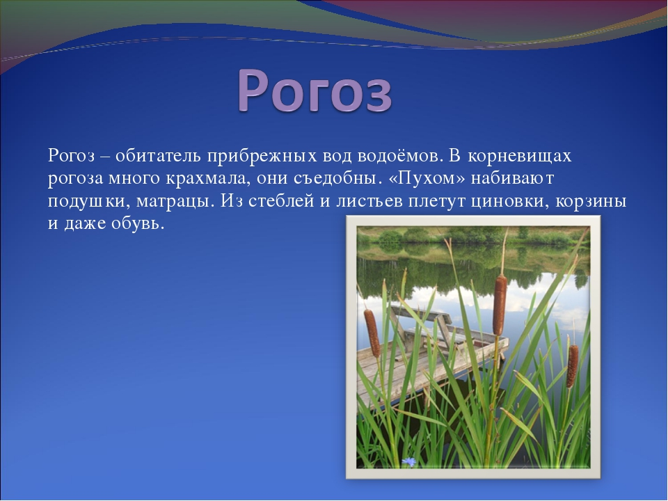 Рогоз – обитатель прибрежных вод водоёмов. В корневищах рогоза много крахмала...