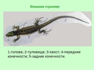 1-голова; 2-туловище; 3-хвост; 4-передние конечности; 5-задние конечности.