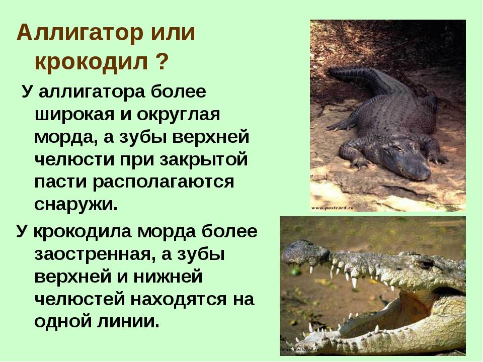 Аллигатор или крокодил ? У аллигатора более широкая и округлая морда, а зубы...