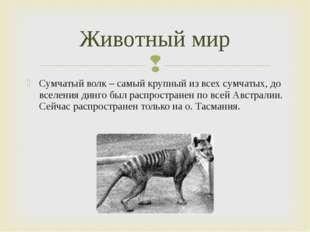 Сумчатый волк – самый крупный из всех сумчатых, до вселения динго был распрос