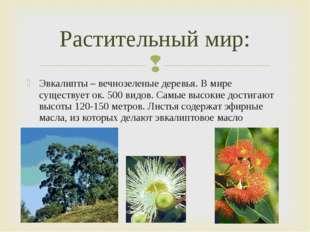Эвкалипты – вечнозеленые деревья. В мире существует ок. 500 видов. Самые высо