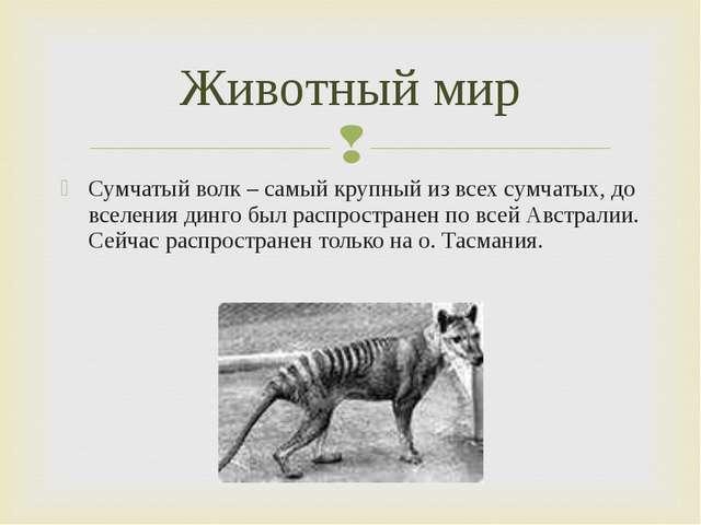 Сумчатый волк – самый крупный из всех сумчатых, до вселения динго был распрос...