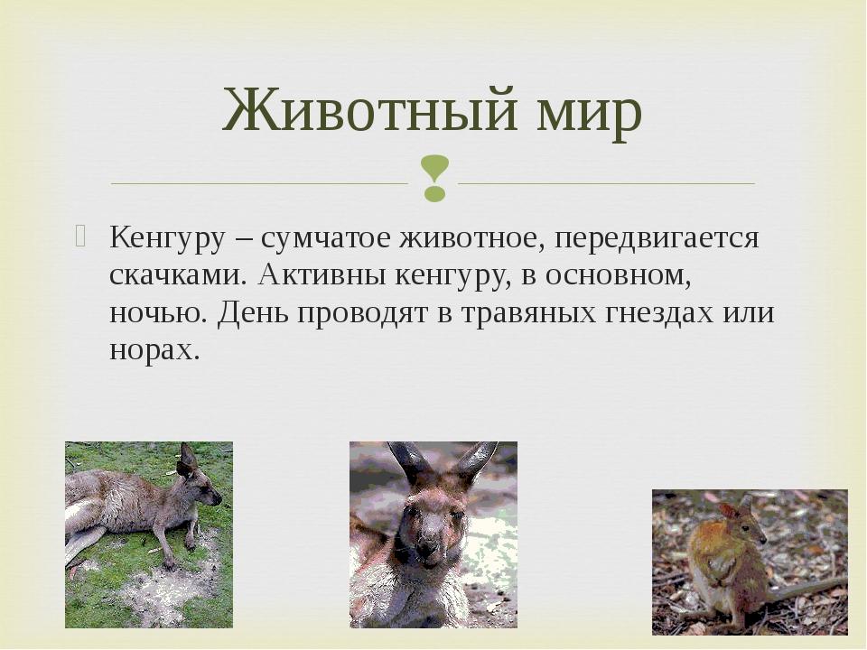 Кенгуру – сумчатое животное, передвигается скачками. Активны кенгуру, в основ...
