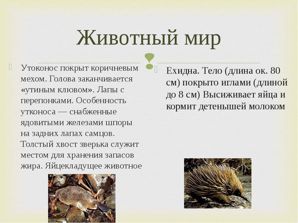 Животный мир Утоконос покрыт коричневым мехом. Голова заканчивается «утиным к...