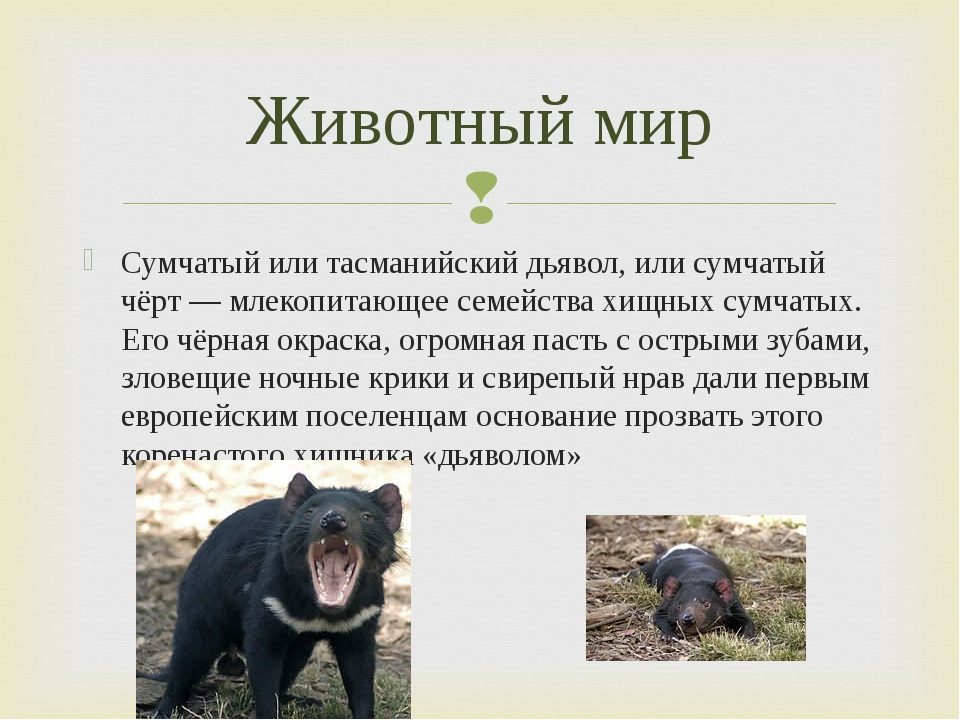 Сумчатый или тасманийский дьявол, или сумчатый чёрт — млекопитающее семейства...