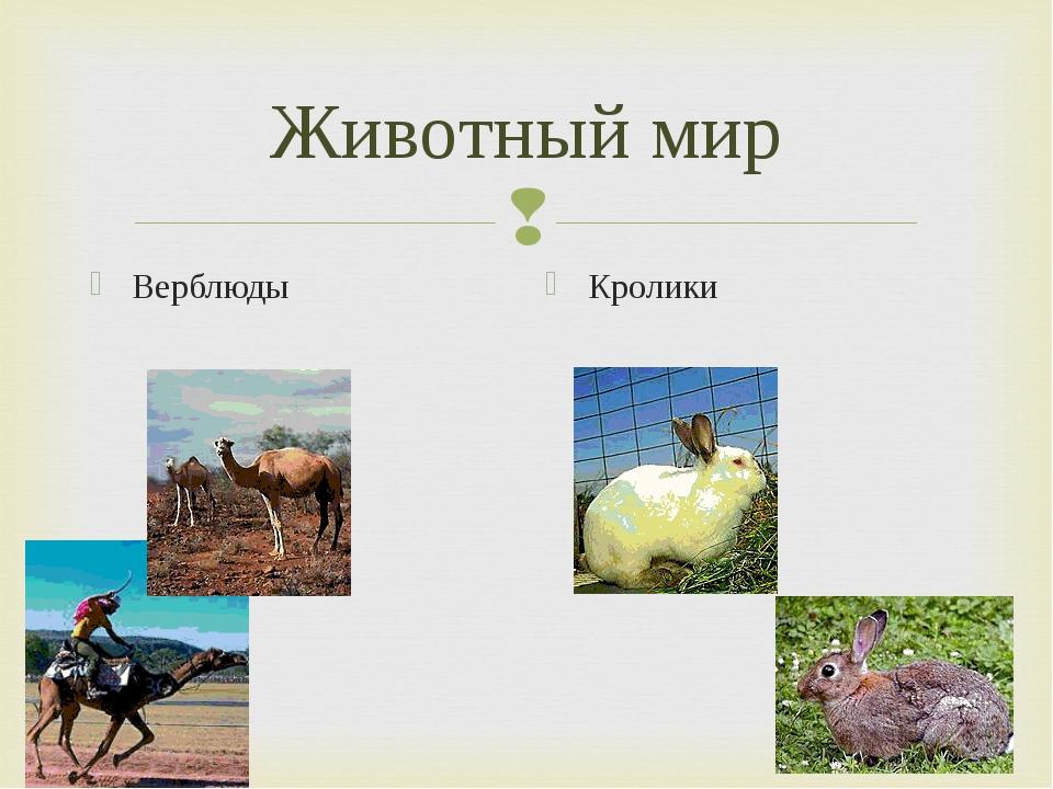 Животный мир Верблюды Кролики