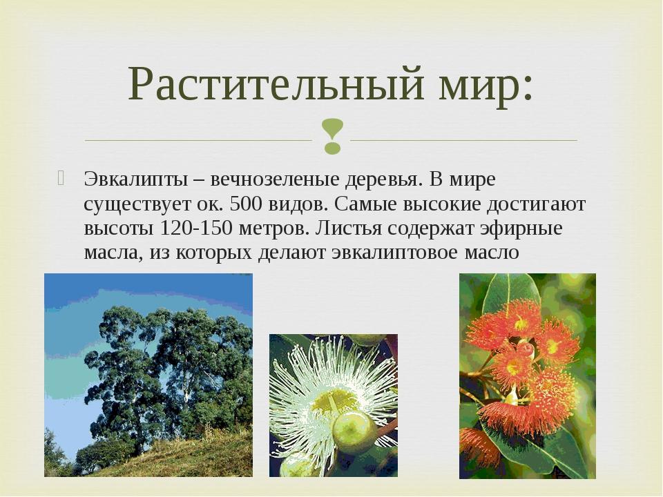 Эвкалипты – вечнозеленые деревья. В мире существует ок. 500 видов. Самые высо...