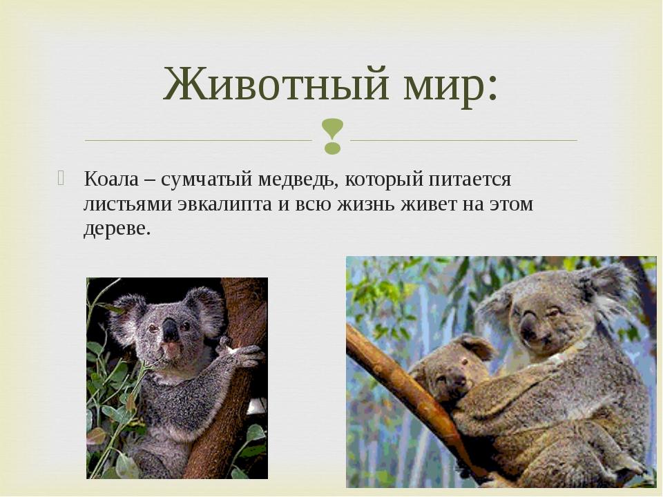 Коала – сумчатый медведь, который питается листьями эвкалипта и всю жизнь жив...