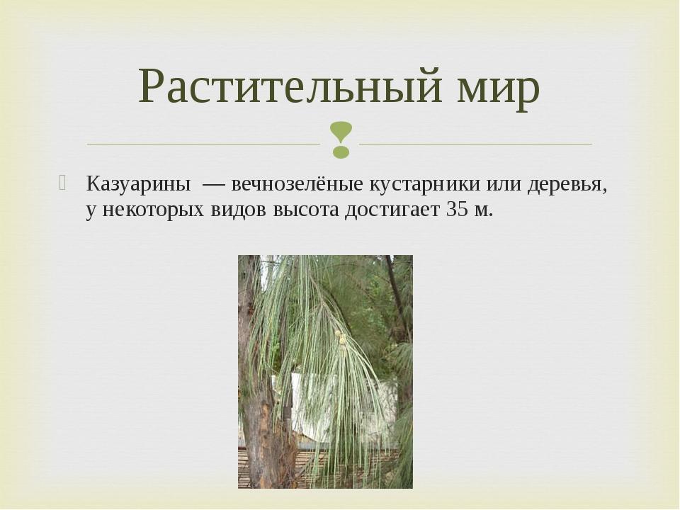 Казуарины — вечнозелёные кустарники или деревья, у некоторых видов высота дос...