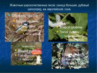 Животные широколиственных лесов: синица большая, дубовый шелкопряд, еж европе
