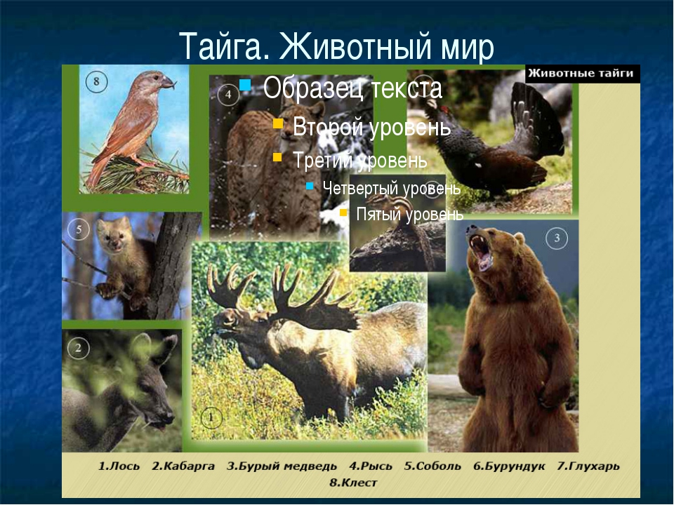 Тайга. Животный мир