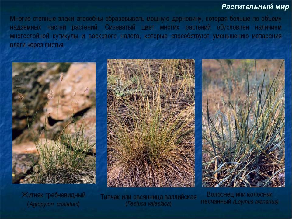 Растительный мир Житняк гребневидный (Agropyron cristatum) Волоснец или колос...