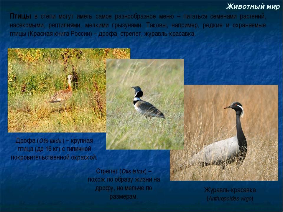 Животный мир Дрофа (Otis tarda ) – крупная птица (до 16 кг) с типичной покров...