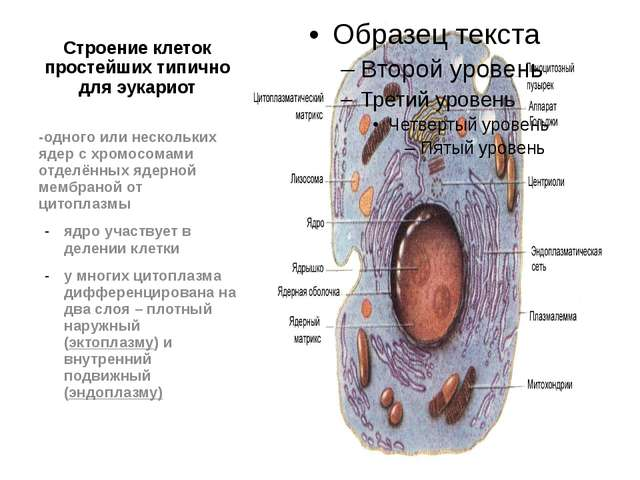 Строение клеток простейших типично для эукариот -одного или нескольких ядер с...
