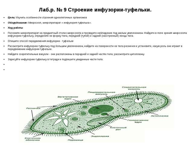Лаб.р. № 9 Строение инфузории-туфельки. Цель: Изучить особенности строения од...