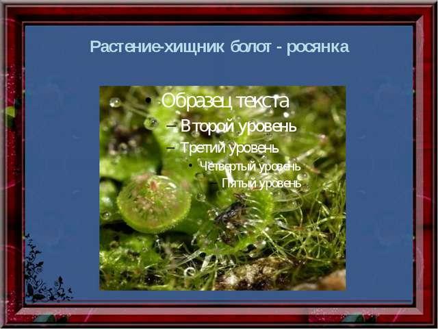 Растение-хищник болот - росянка