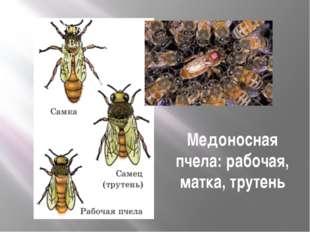 Медоносная пчела: рабочая, матка, трутень