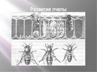 Развитие пчелы