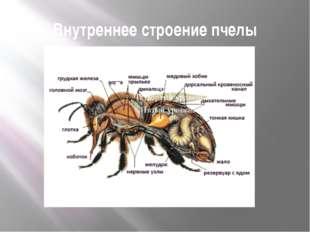 Внутреннее строение пчелы