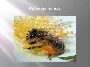Рабочая пчела.