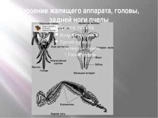 Строение жалящего аппарата, головы, задней ноги пчелы