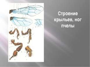 Строение крыльев, ног пчелы