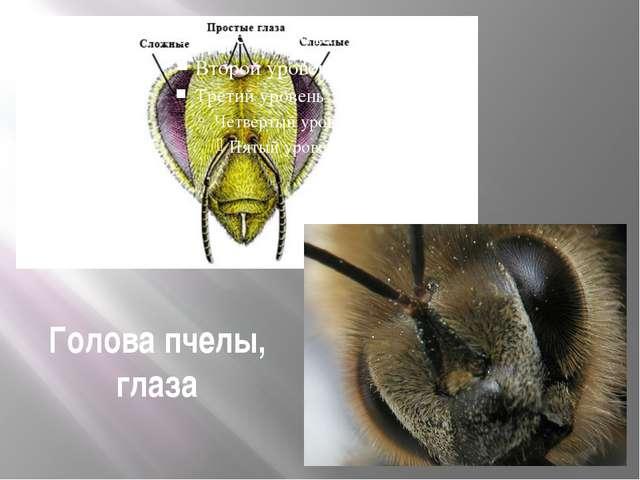Голова пчелы, глаза