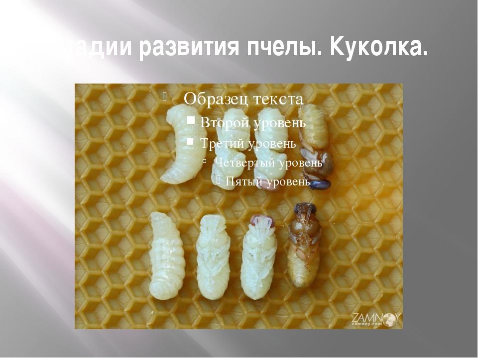Стадии развития пчелы. Куколка.