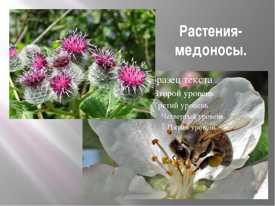 Растения-медоносы.