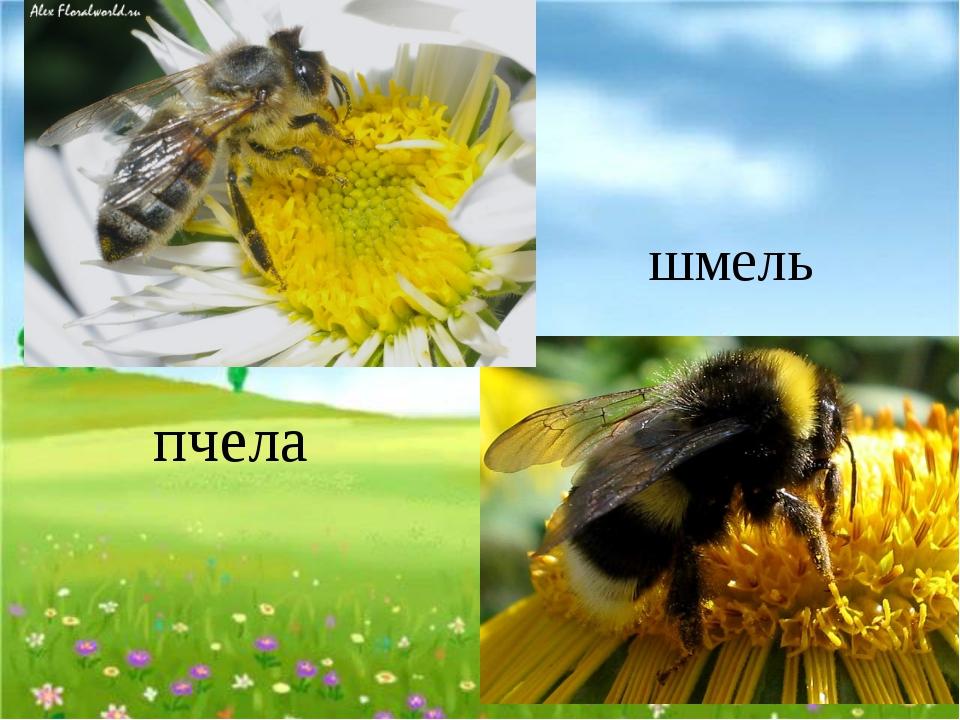 пчела шмель